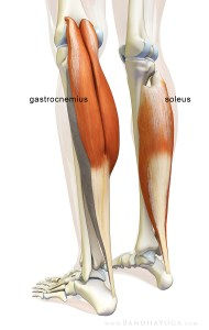 Gastroc_soleus_origin_insertion