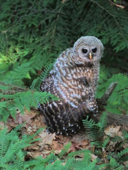 french owl 3