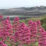 flowers near Swansea Bike Path