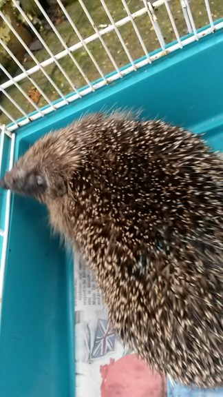 Rather blurry action shot but hopefully you can make out the scaly skin on Charlie's face caused by ringworm. Also note the blue nail polish on his back - before being nicknamed Charlie, this hedgehog was known as Blue2.