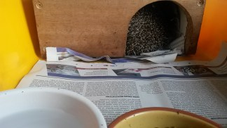 The wooden houses are filled with torn newspaper which the hedgehogs use to nest.
