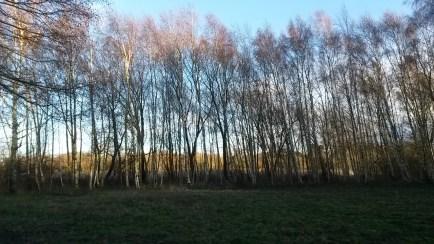 A birch plantation and grassland at Skylarks Nature Reserve.