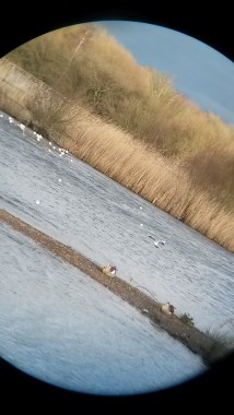 A view through the binos at Attenborough's Egyptian geese & goslings.