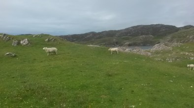 Sheep at Scourie :)