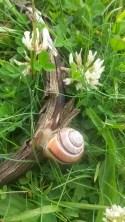 A pretty Scourie snail.