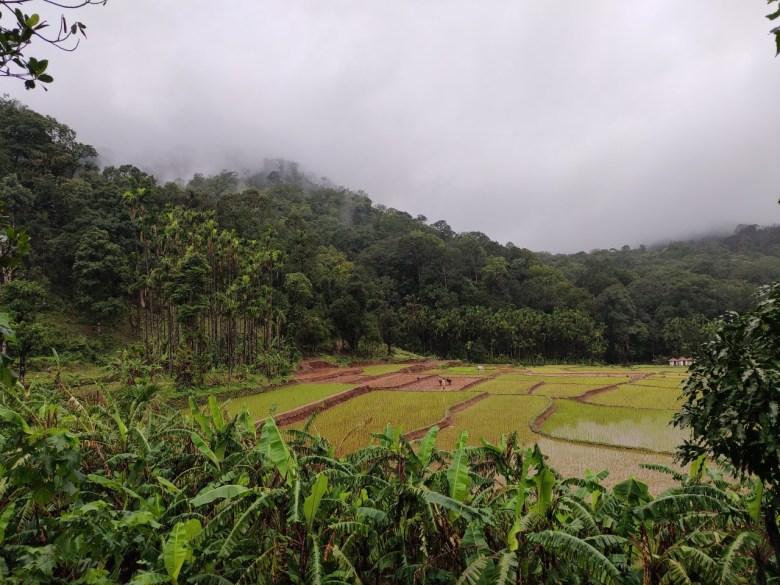 Paddy Fields And Forest En Route Kodachadri Peak