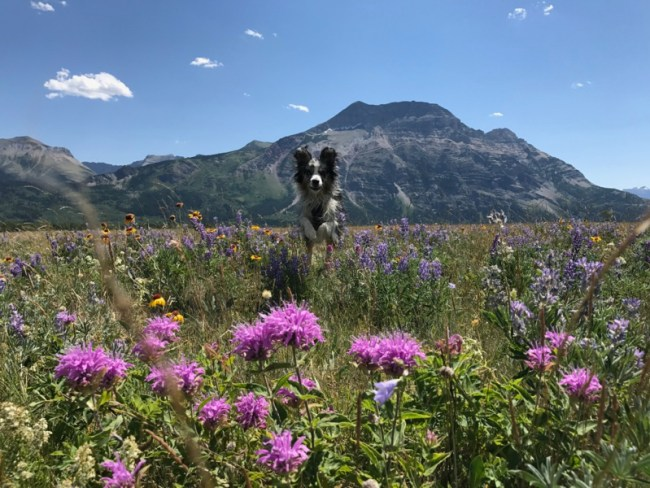 Fields of wildflowers in Waterton Lakes National Park