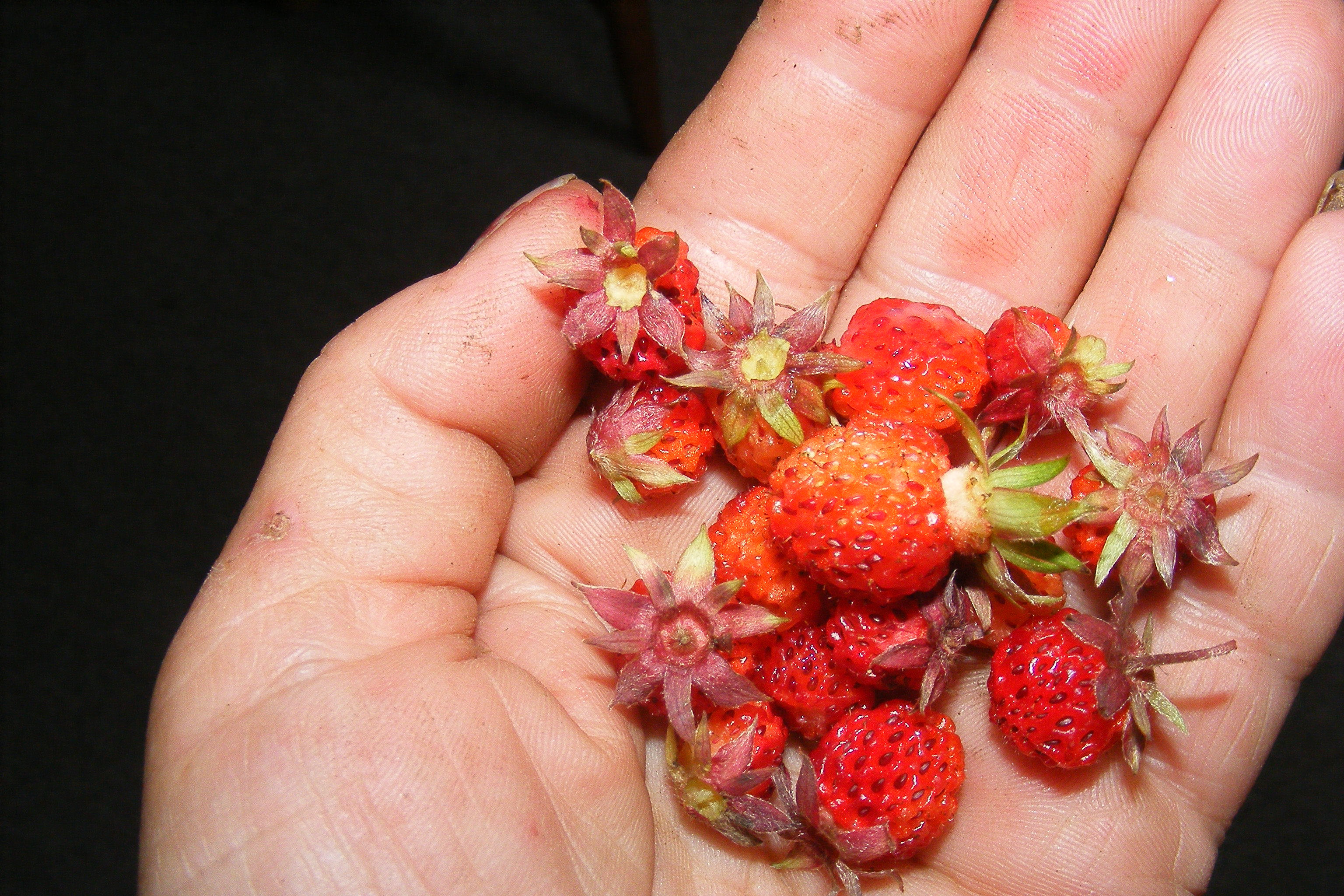Wild Strawberries are everywhere on the Eastern Shore!