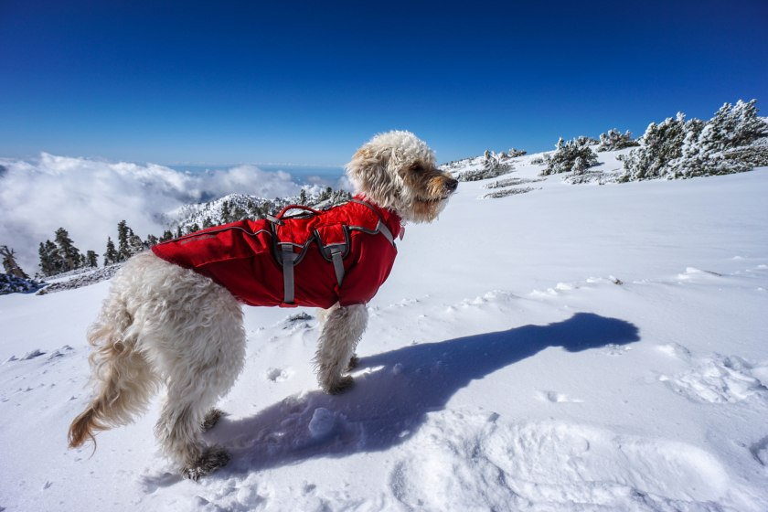 Hiking With Dogs: Mt. Baldy Snow Summit With Isla