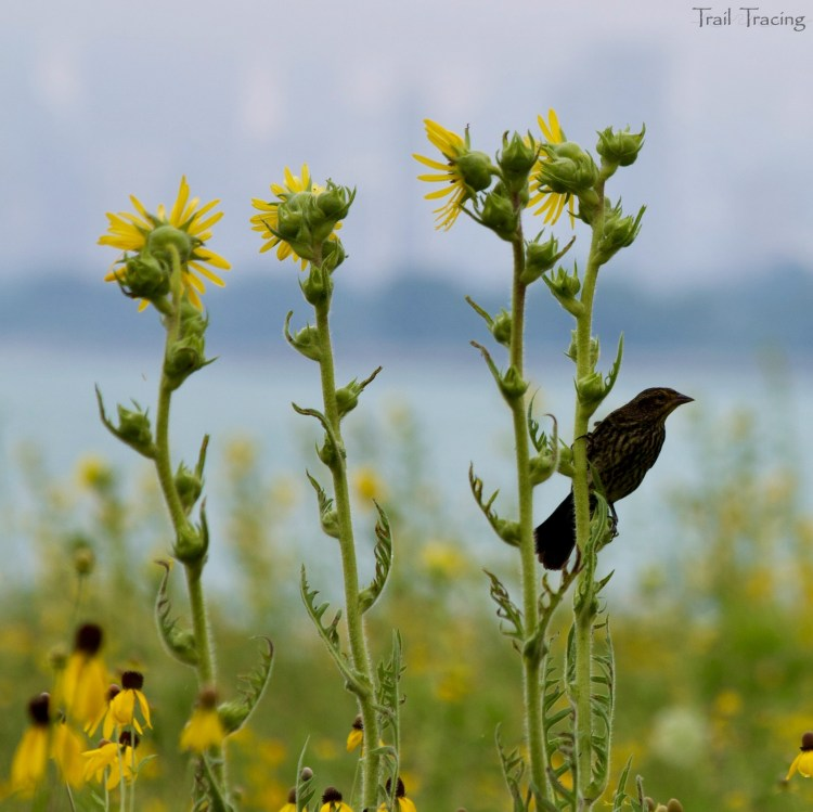 Montrose Point Bird Sanctuary 3 7-22-18
