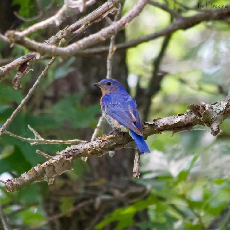 ILB Bird
