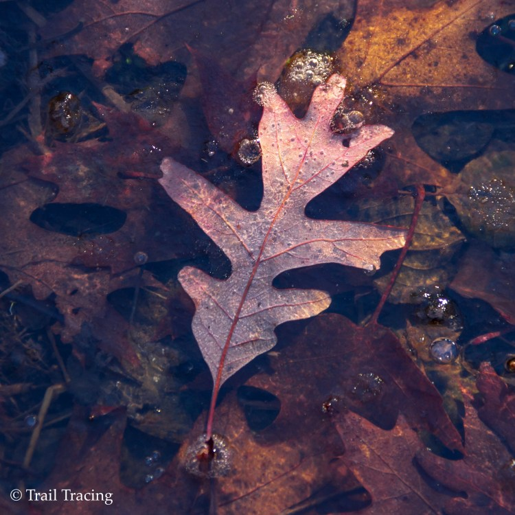 McGinty Slough Frozen Leaf