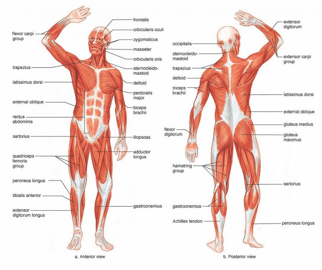 31 Label The Muscles Of The Body Worksheet