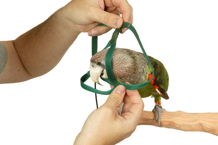 Putting Aviator Harness On My Parrots In 10 Seconds With Video