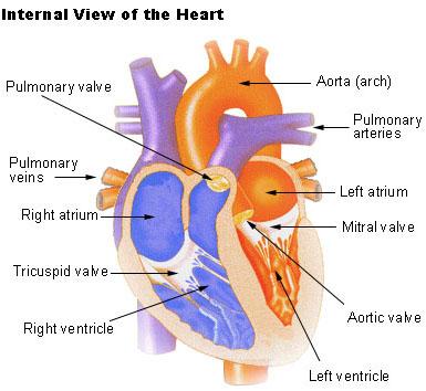 Ilustración de una vista interna del corazón