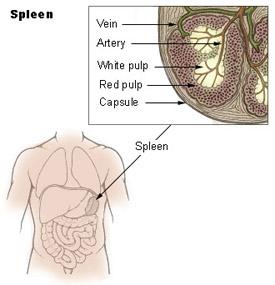 Ilustração do baço e a sua localização no corpo humano