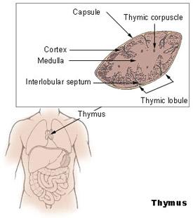 Ilustração do timo e da sua localização no corpo humano
