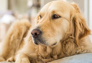 How Much Sleep Does A Golden Retriever Need A Day Training Buster