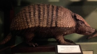 Larger hairy Armadillo