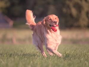 Aportierender Hund 2