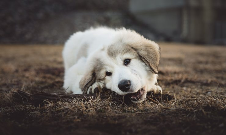 Great Pyrenees puppy chewing a stick