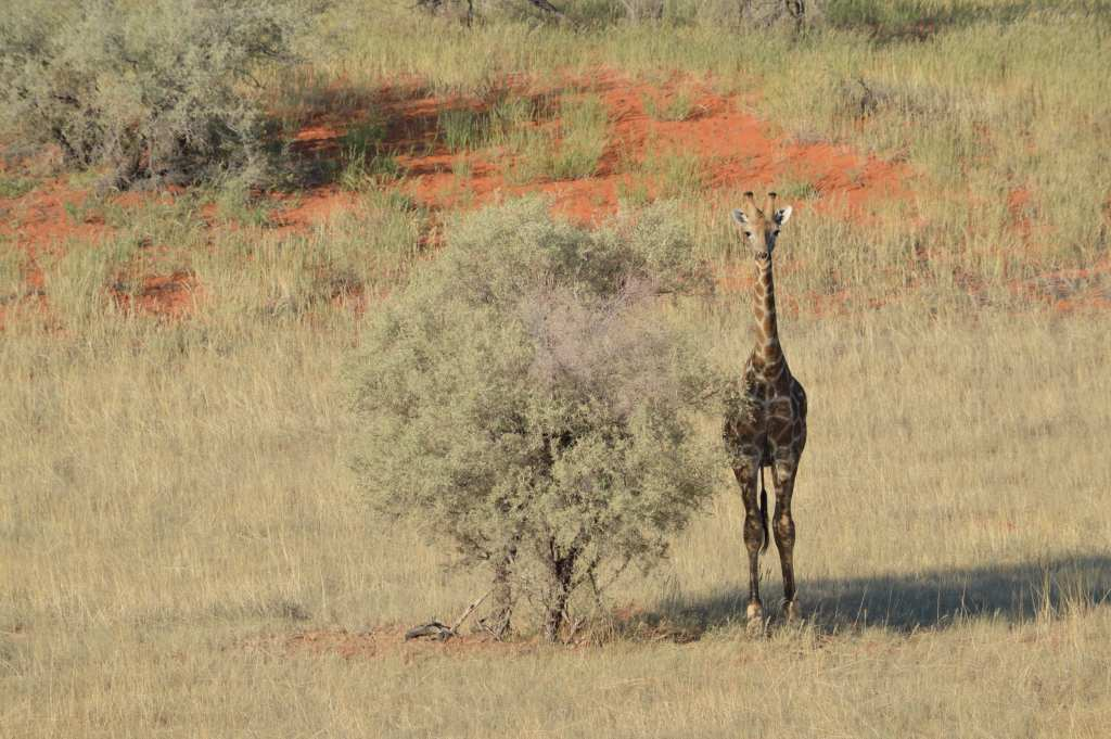 The giraffe thinks she's a tree -- on a game drive at Bagatelle Game Ranch