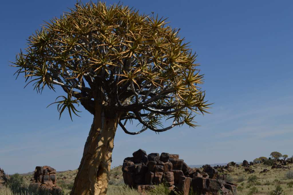 Cute little quiver tree along the road to Fish River Canyon