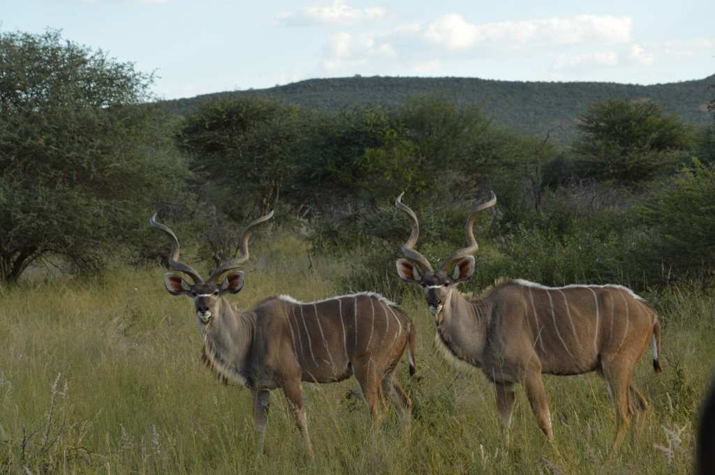 These absolutely stunning kudu were a highlight of the game drive