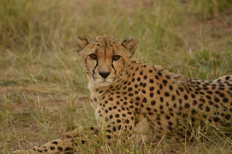 Where to see cheetahs: Okonjima, Namibia