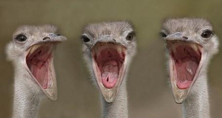 a-ostrich_4
