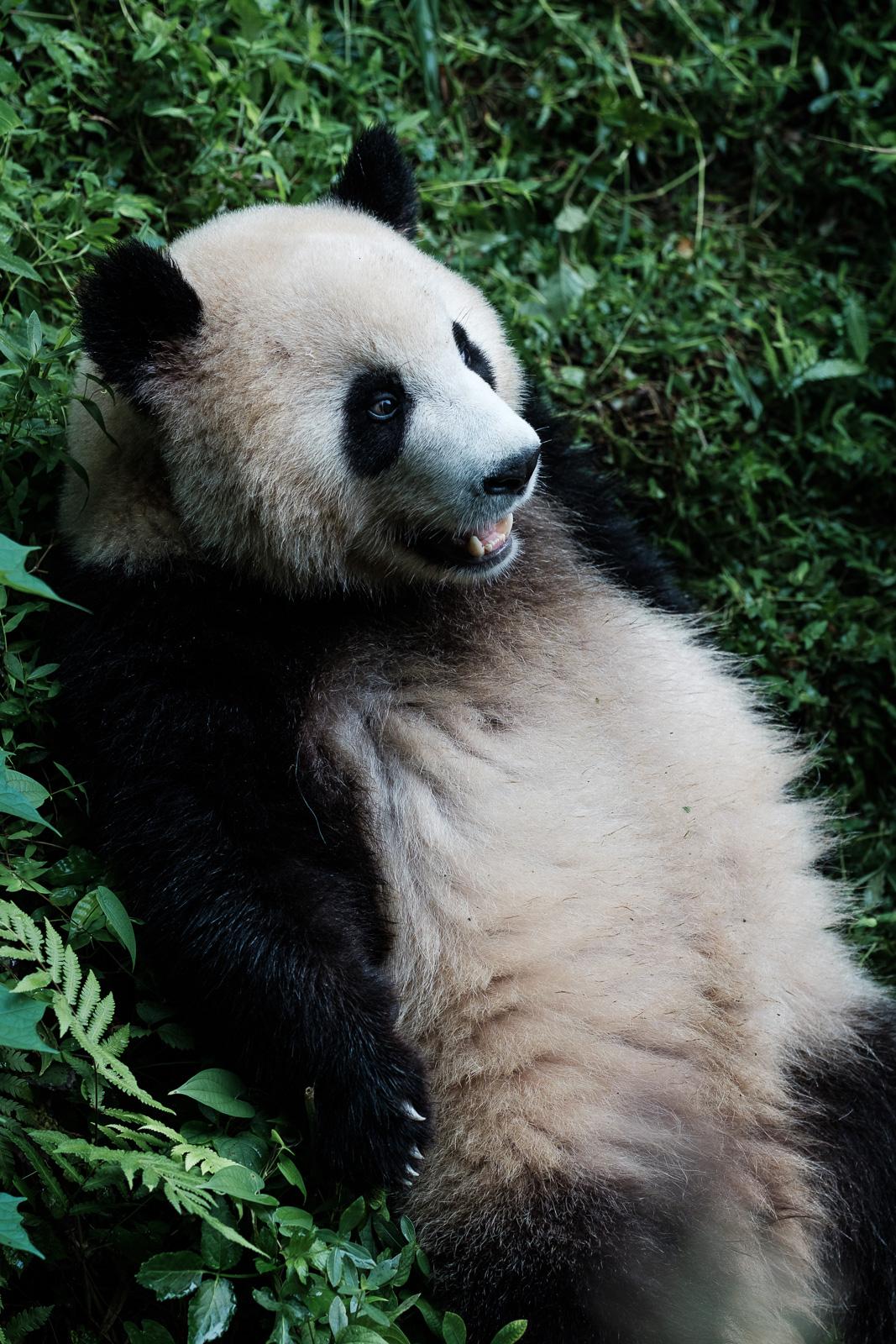 panda chengdu chine