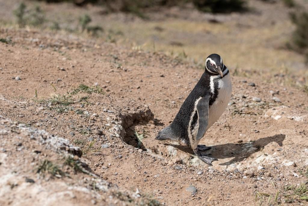 pingouin animal péninsule valdes puerto madryn patagonie