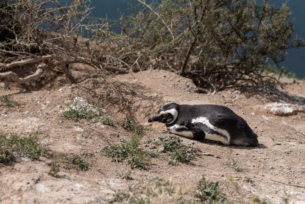 pinguoin péninsule valdès patagonie argentine animal