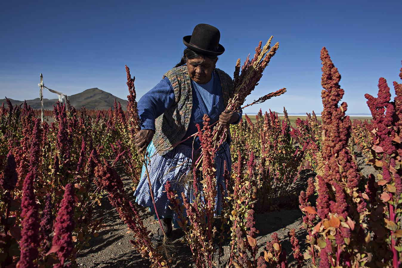quinoa plantation bolivie altiplano