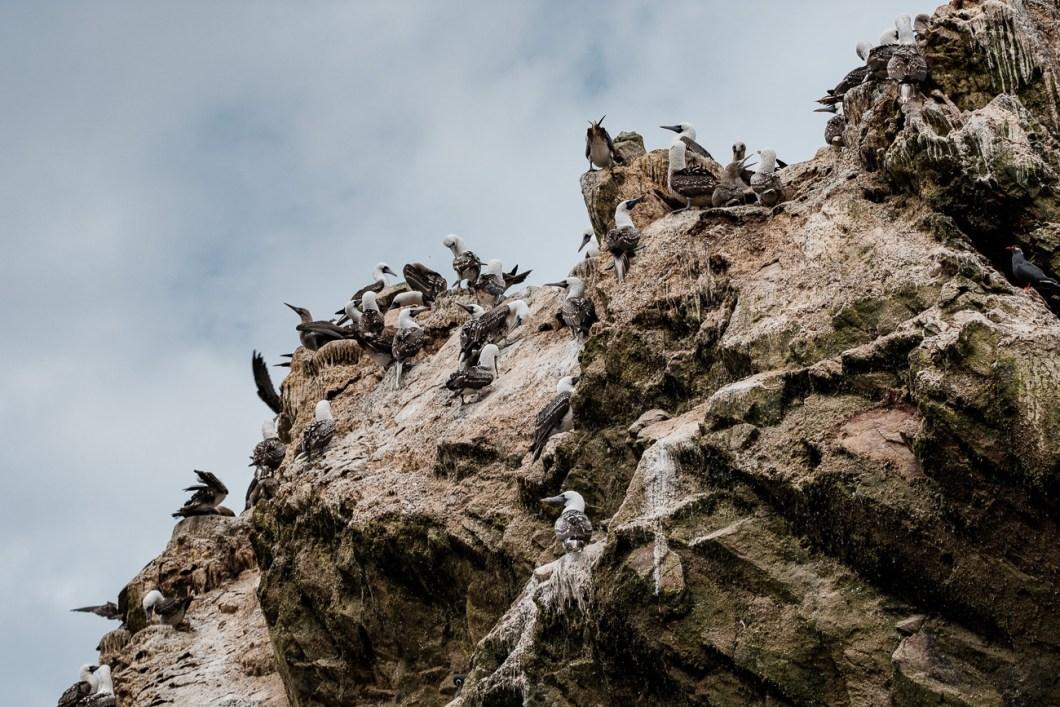 oiseaux paracas islas ballestas pérou
