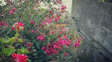 San Francisco, California, Alcatraz, flower, flowers, coliber, hummingbird,