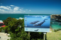 Welcome to Hermanus! A whale paradise! And a human paradise too!