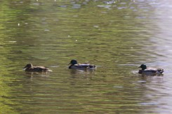 Duck family on a trip