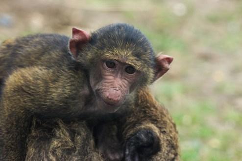 Small baboon