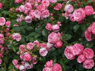 rose-8219_960_720