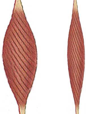 Muskeln till vänster har en större pennationsvinkel och kan därmed ha större tvärrsnittsarea.