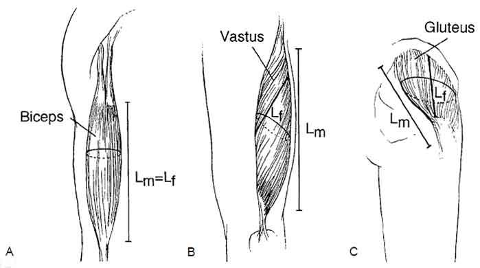 Bilden visar typexempel på de olika muskeltyperna, Lm står för musklernas längd och Lf står för längden på varje muskelfiber.