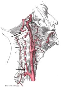 A. vertebralis