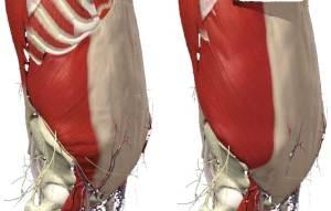 De inre (vänster) och yttre (höger) obliquerna