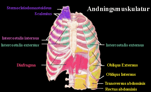De olika musklerna som är inblandande vid aktiv ansträngande andning. De blå musklerna lyftar på revbenen, de gröna expanderar på revbenen och diafragma ger lungorna mer plats neråt. De gula musklerna skapar buktryck som gör att vi får en aktiv utandning tillsammans med de lila sänker revbenen.