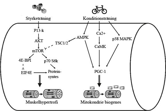 Negativ inverkan från konditionsträning (via AMPK) på styrketräning