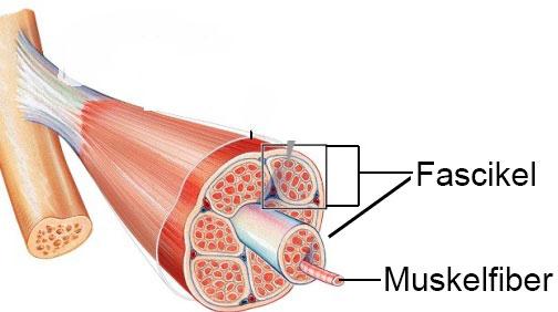 En bild över hur fascikler omringar buntar av muskelfiber