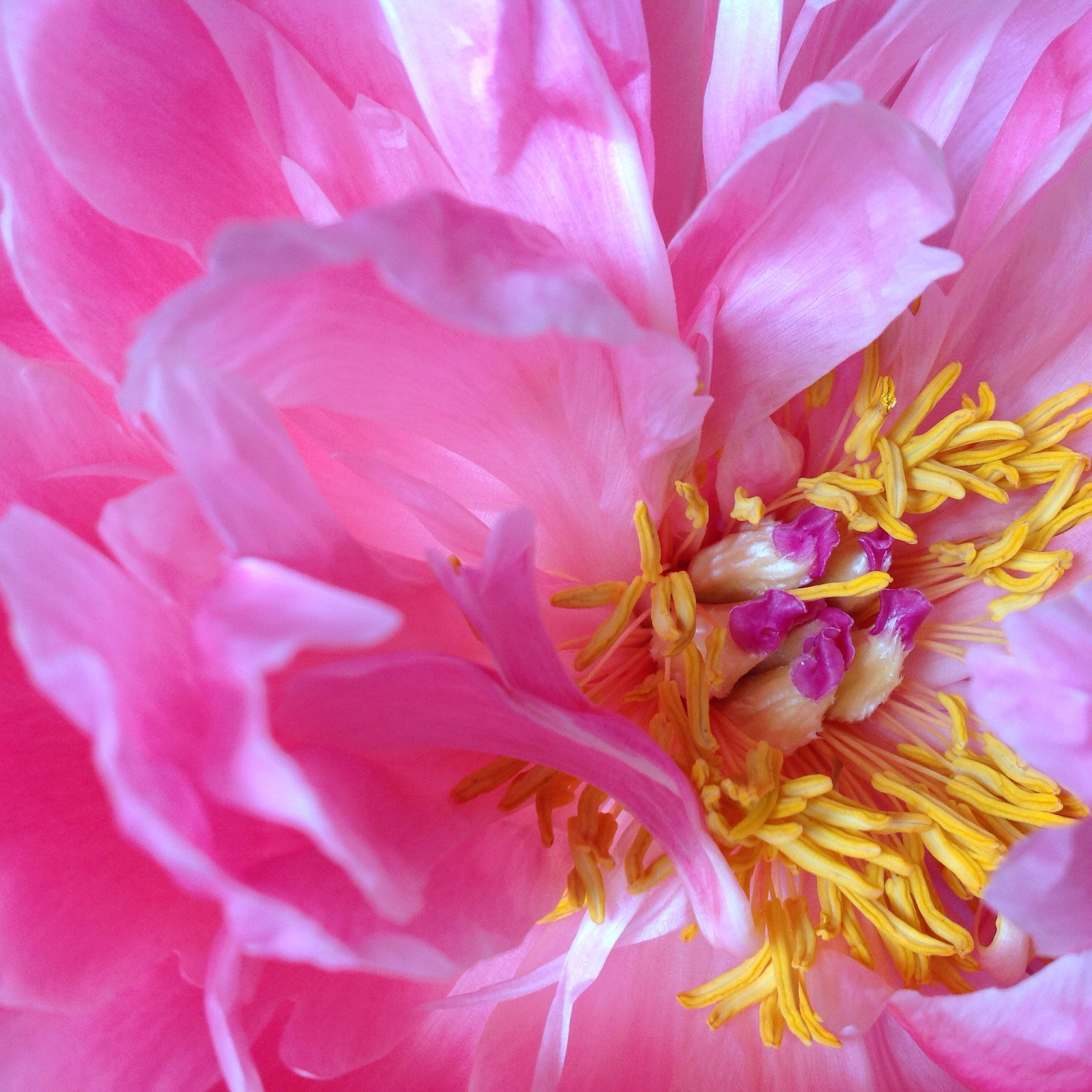 Celebrate the Season for Peonies!