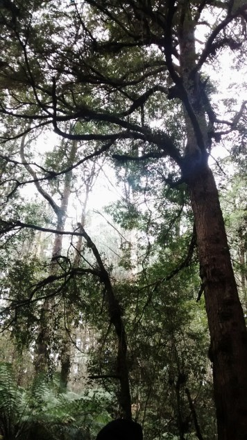 Toolangi State Park 2