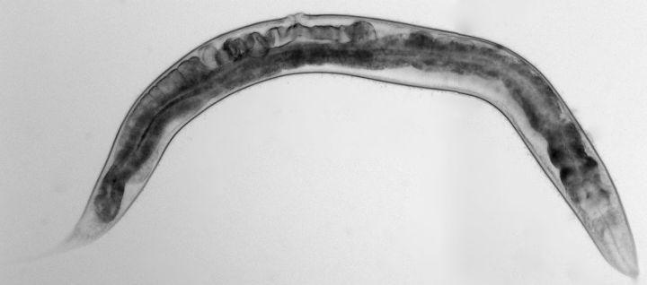 El gusano nematodo C